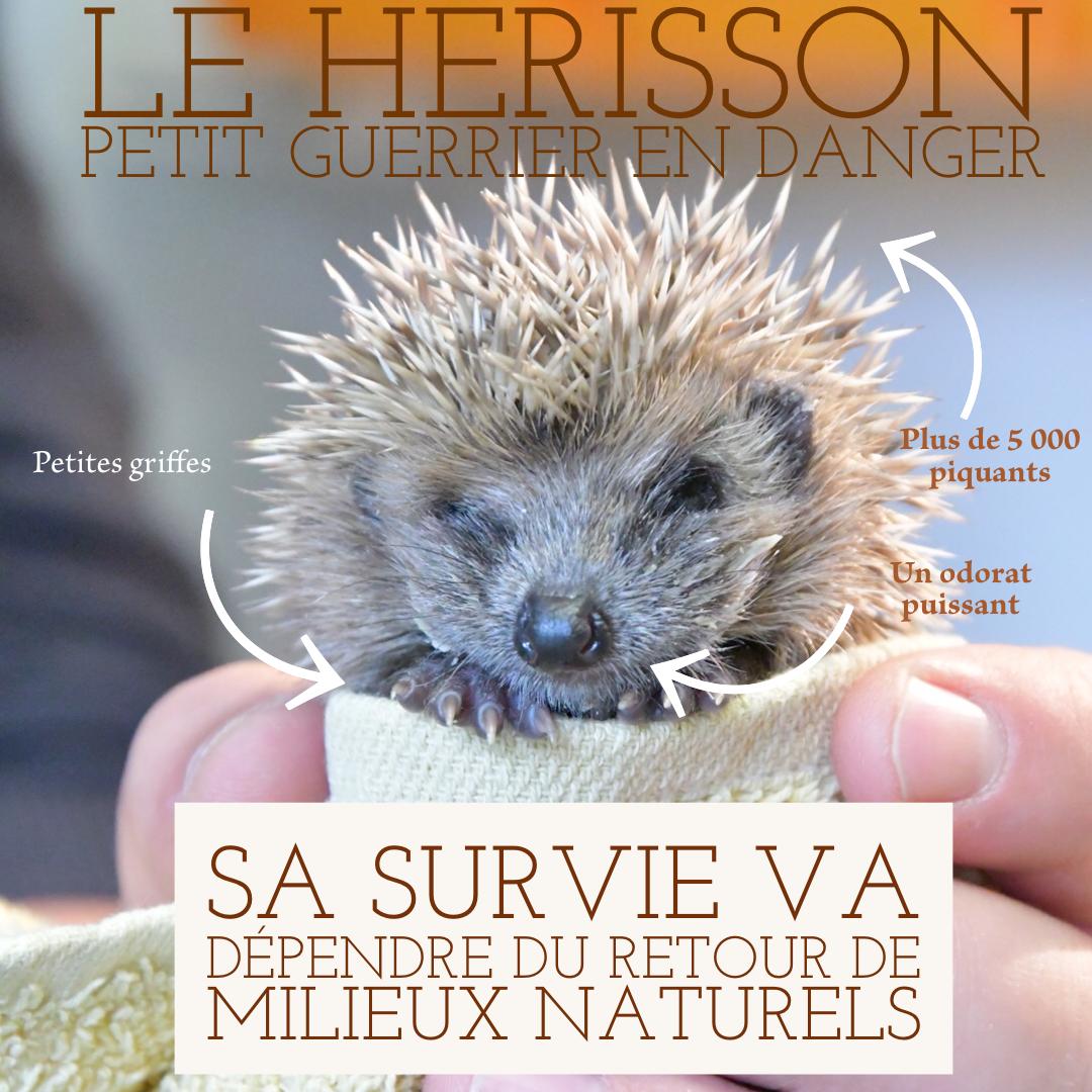 Le Hérisson, petit guerrier en danger