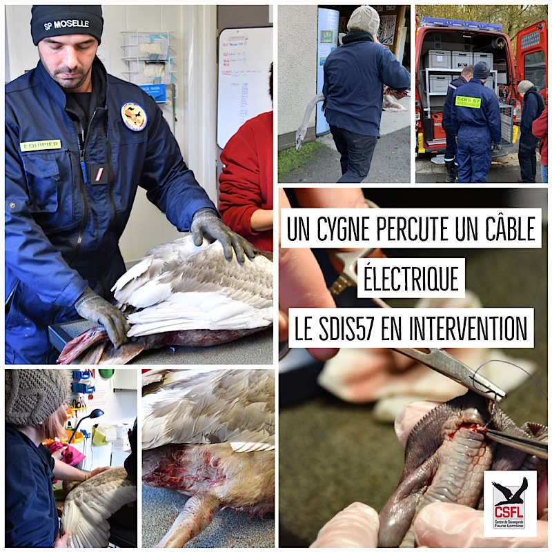 intervention cygne SDIS57