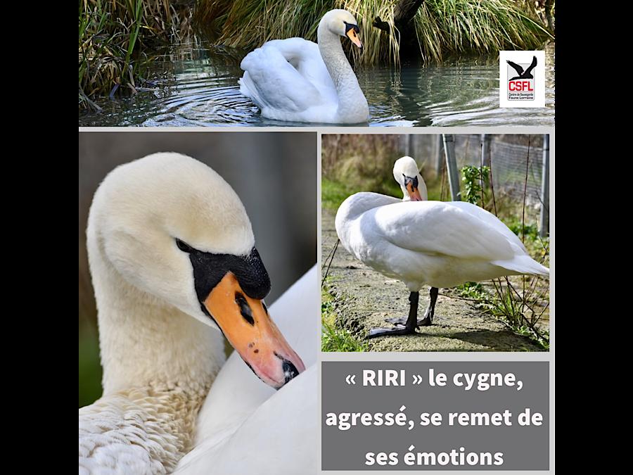 Le cygne « RIRI », agressé, se remet de ses émotions