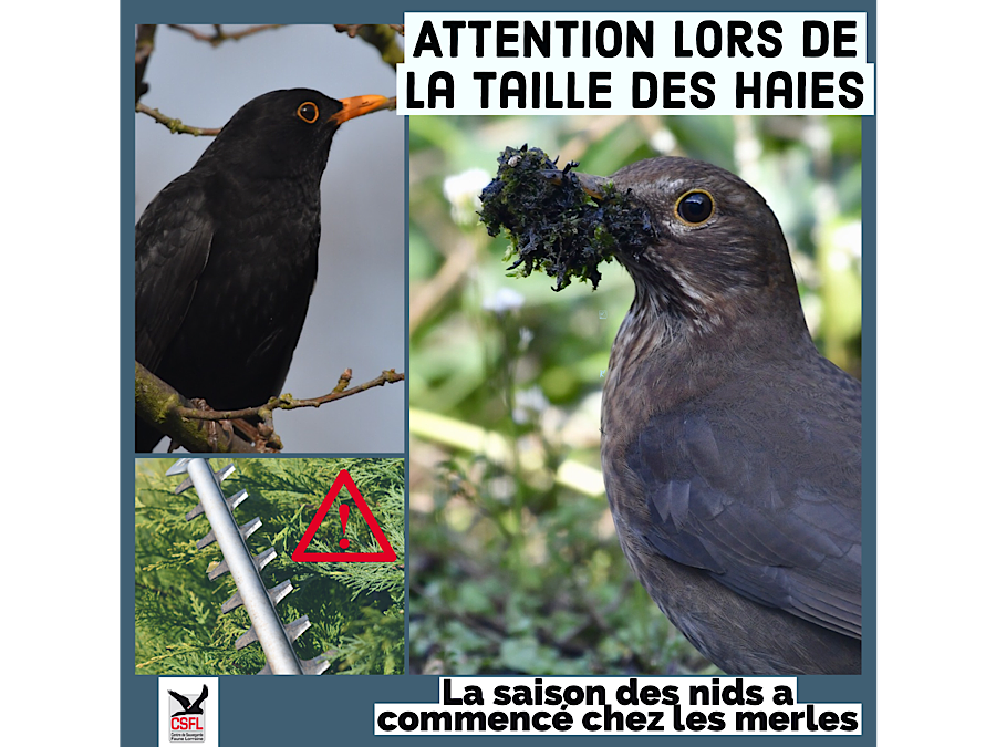 Attention lors de la taille des haies
