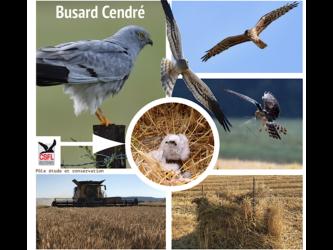 Busard Cendré: une action concrète de terrain pour la sauvegarde de la biodiversité
