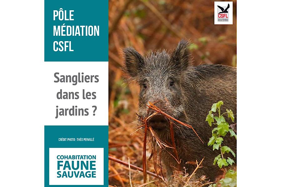 Médiation faune sauvage : Des sangliers dans les jardins ?