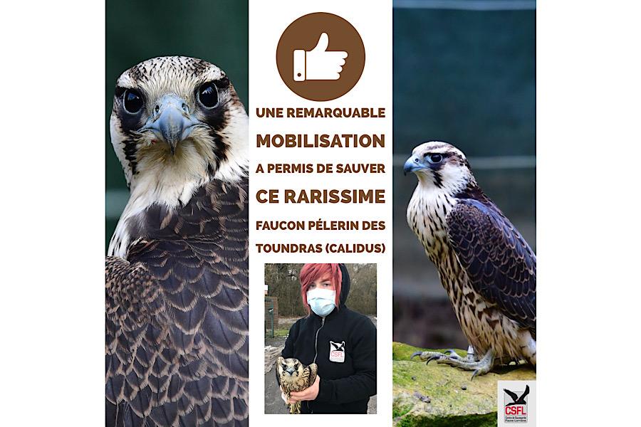 Une remarquable mobilisation a permis de sauver ce rarissime faucon pélerin des toundras (calidus)