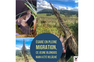 Égaré en pleine migration, ce jeune Blongios Nain a été relâché